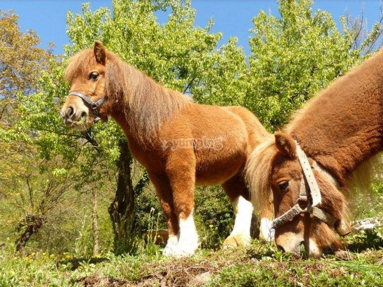 Ponys pastando