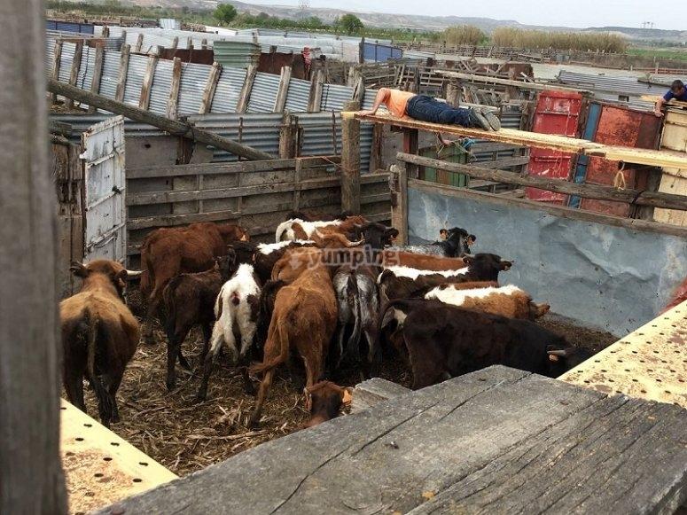 牛在ri里