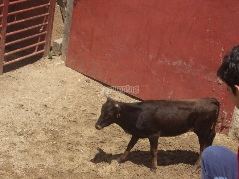Observando a la vaquilla