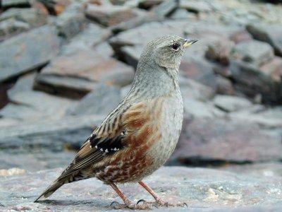 游览内华达山脉的鸟类
