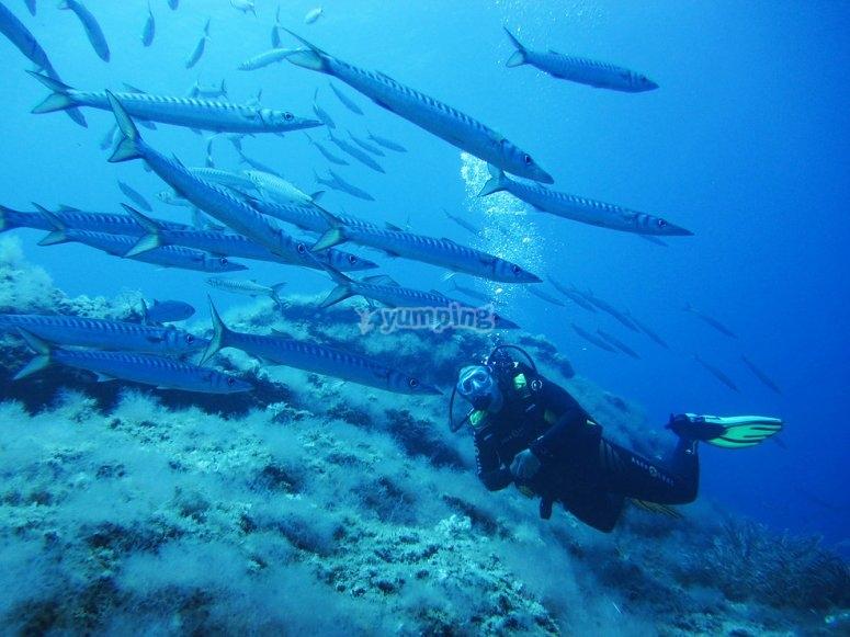 Buceano跳水在马洛卡与梭鱼