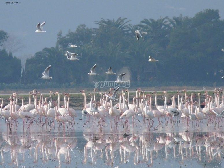 Avistamiento de flamencos en el Parque Natural Delta del Ebro