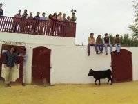 小母牛年轻的享受capea