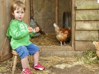 学校农场的鸡。