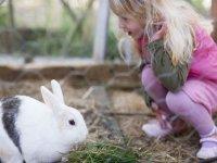学校农场的兔子。