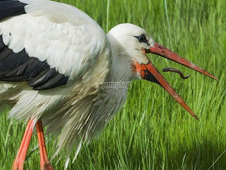 Ciguena comiendo