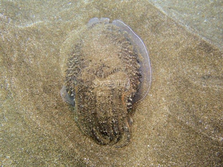 Sepia en el fondo marino