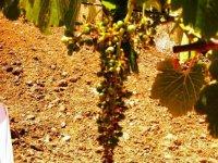 racimo de uva con el suelo de fondo
