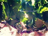 vinedos llenos de racimos de uva