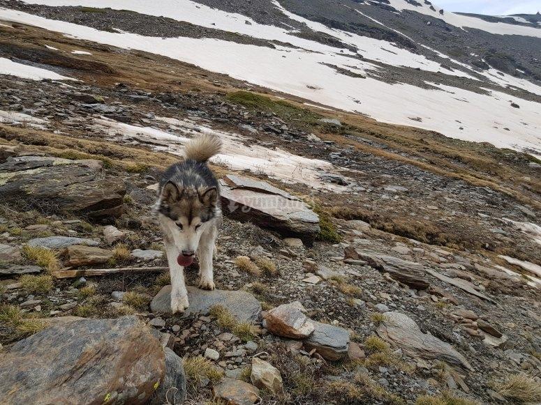 Perro lobo en la ruta