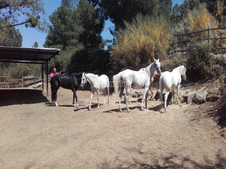 Alguno de los caballos descansando