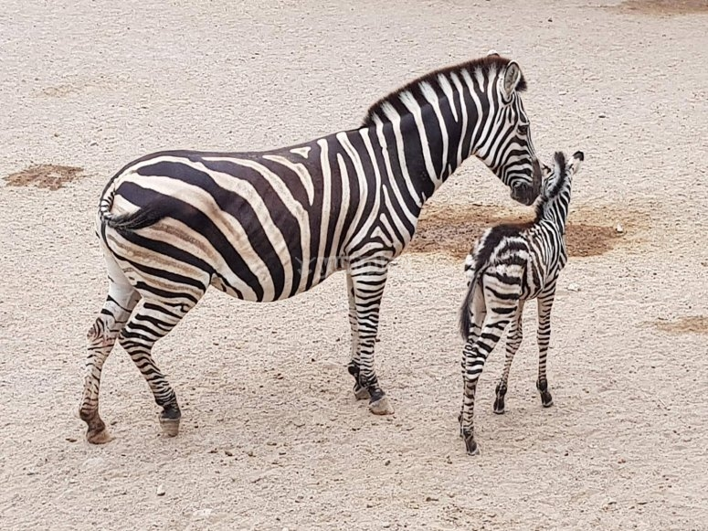 Mother zebra and baby