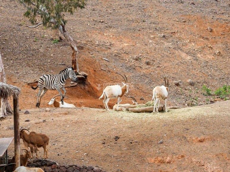 Zebras at Oasis Park Fuerteventura