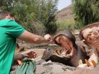 Medicating the hippopotamus at Oasis Park Fuerteventura