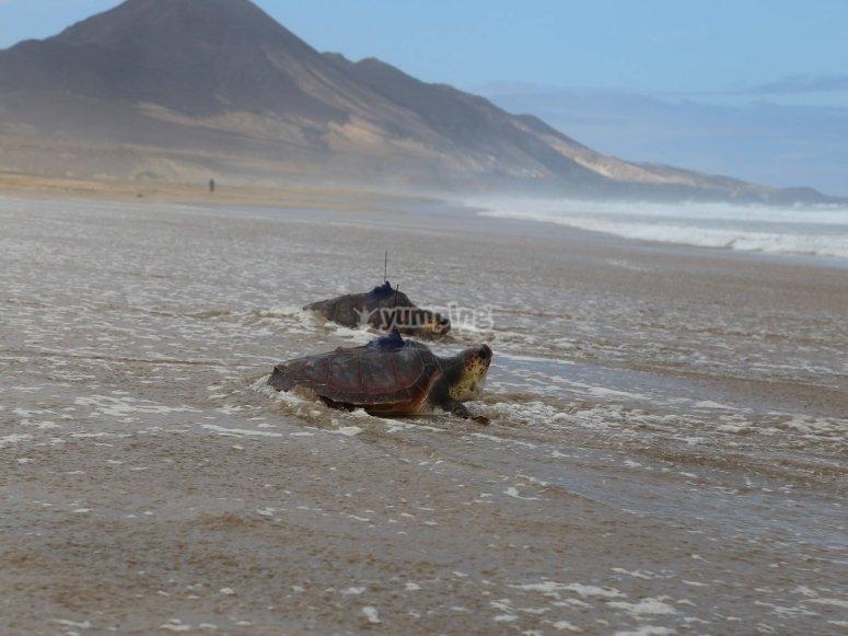 Marine turtles Fuerteventura