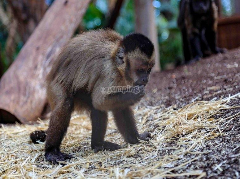 le singe mangeant