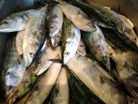Peces pescados durante la jornada