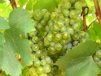Racimo de uva