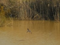 Duck in the marshes