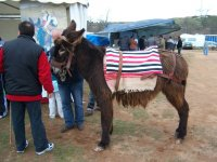 Donkey prepared for the route