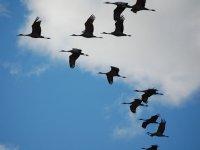 Grullas en vuelo