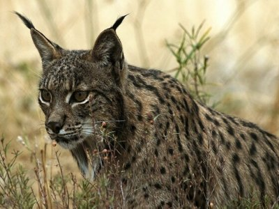 Route with sighting of Iberian lynx in Jaén