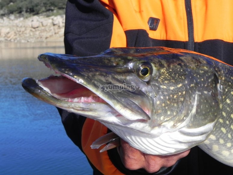 Lucio pescado
