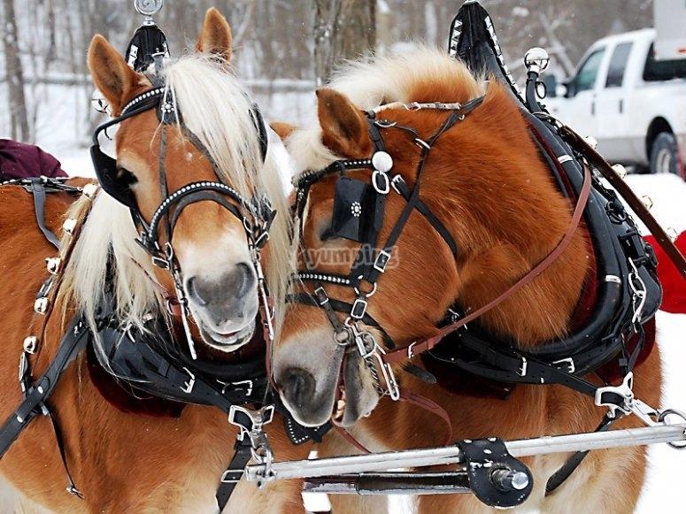 拉雪橇的马