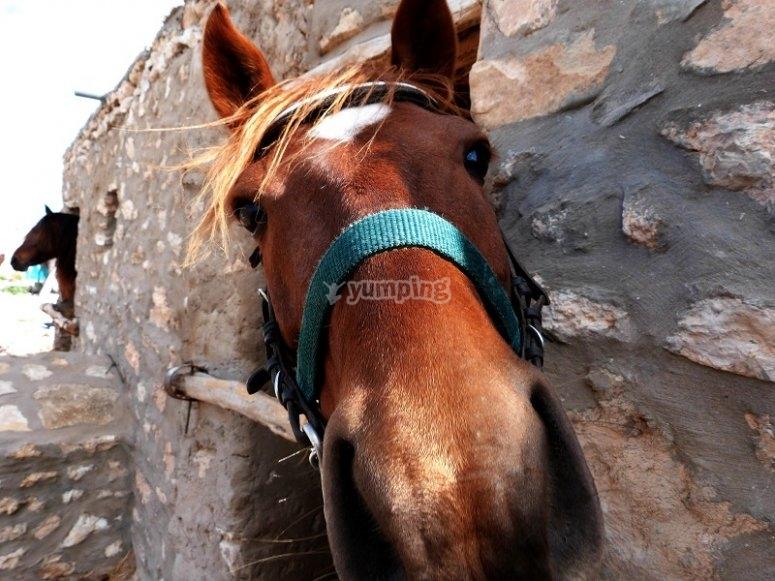 Simpatico caballo asomando curioso