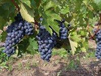 La vid de La Rioja