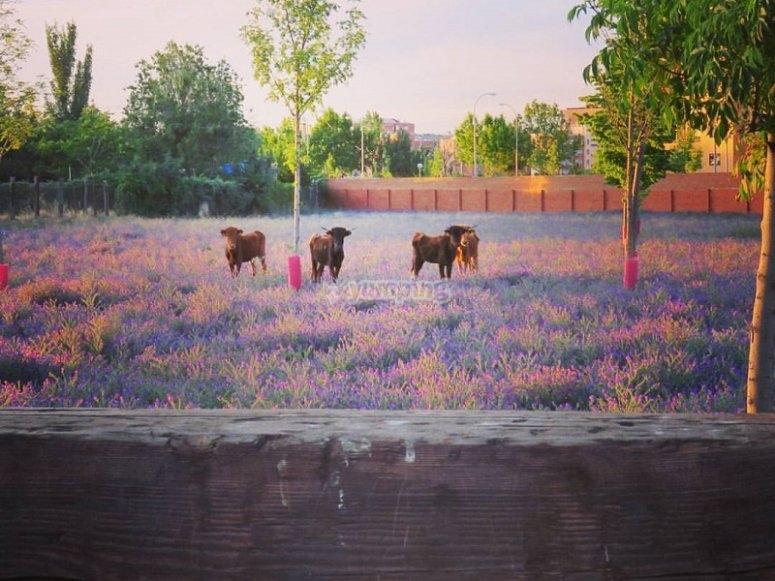 Heifers in open air