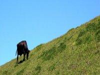 黑色公牛黑马吃草