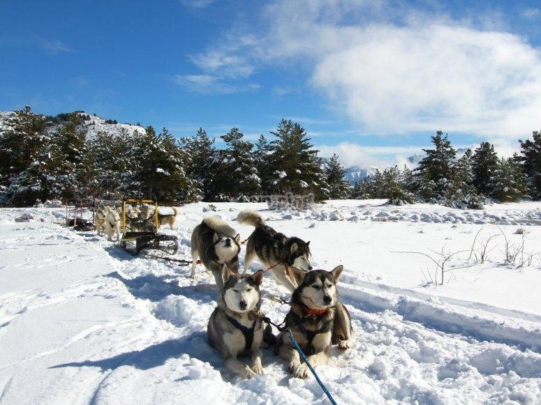 trineo tirado por perros
