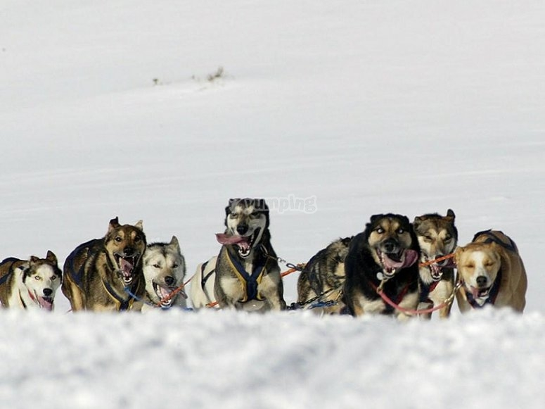 Nordic dogs ready to run