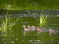Patos navegando por las marismas
