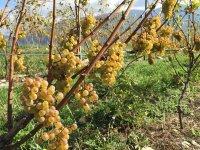Nuestras uvas blancas