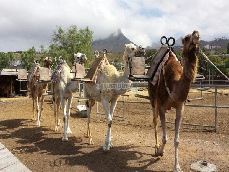 A camel with its mount