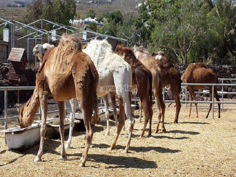 Camels eating
