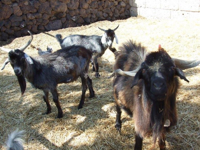 Cabras de nuestra granja
