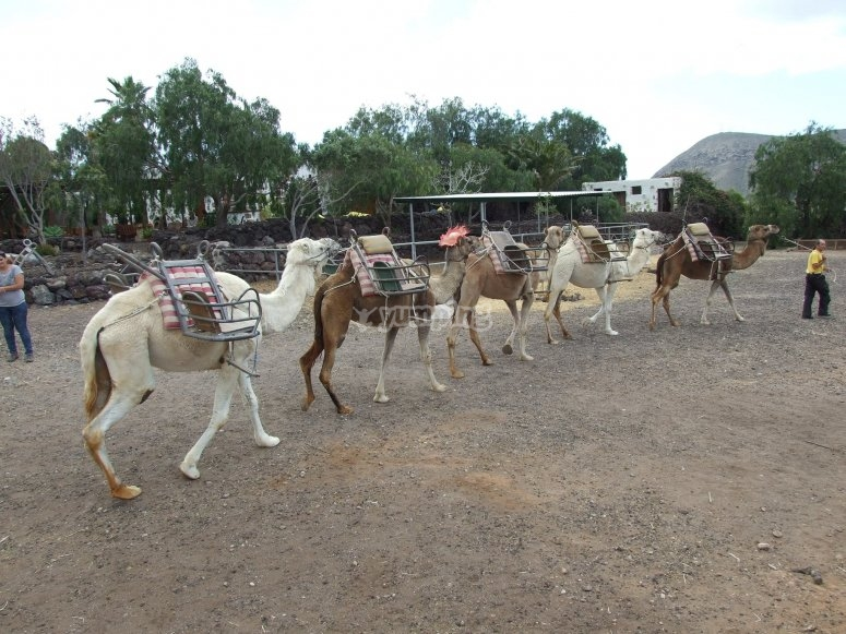 Camellos en fila