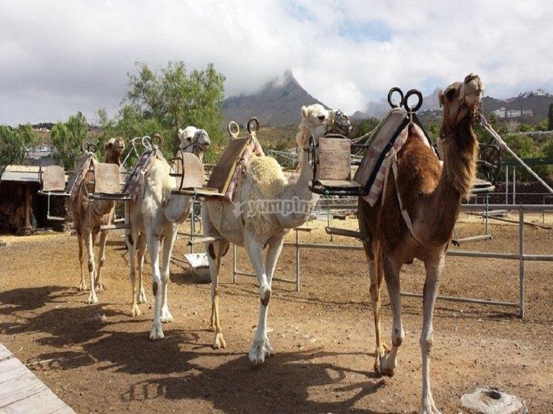 Camellos listos para salir