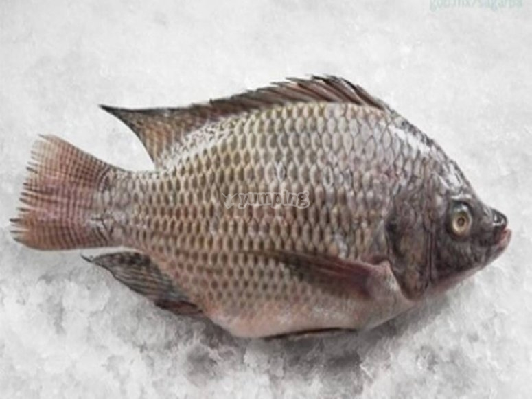 Catching a two-banded sea bream