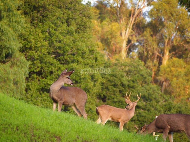 Familia de ciervos