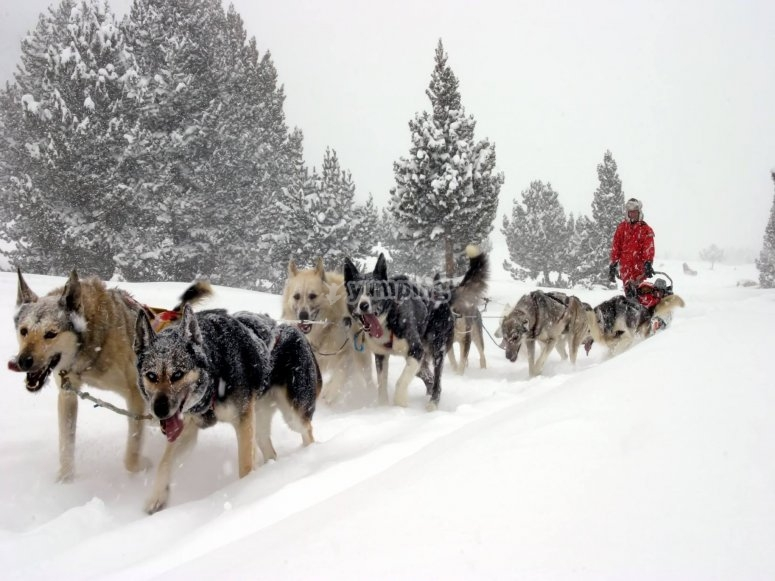 The dogs pulling the sled while it snows