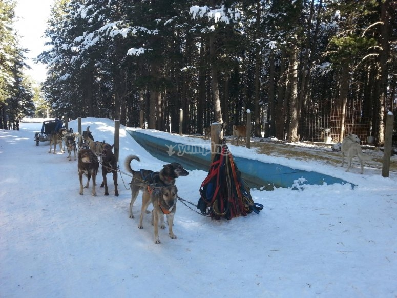 Mushing dogs tied to the sled