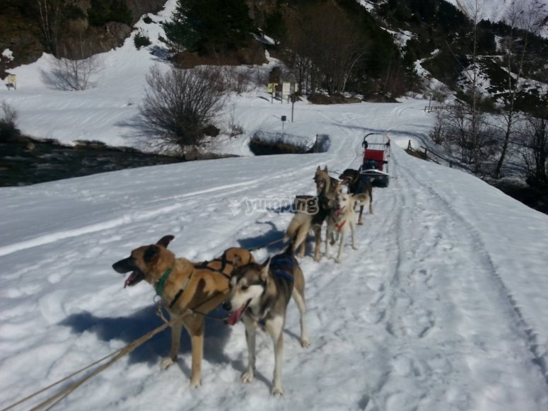 Sled dogs riding in the snow