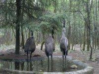 tres avestruces en un entorno natural