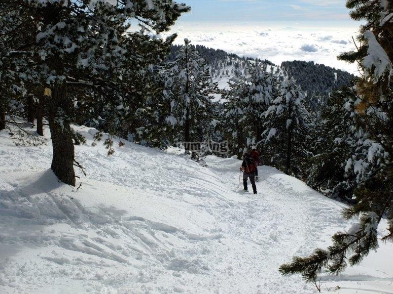 Senderos entre pinos nevados
