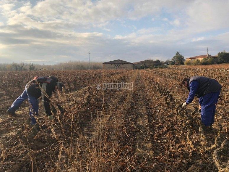 在拉里奥哈(La Rioja)修剪的艺术