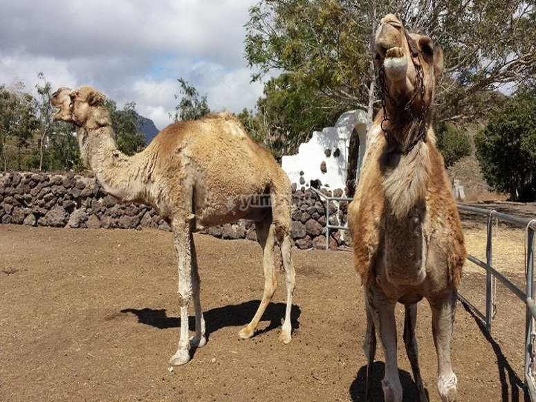 Two of our camels